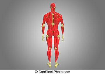 human skeleton with muscles - The human musculoskeletal...
