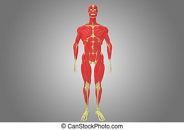 skeleton with muscle body - The human musculoskeletal system...