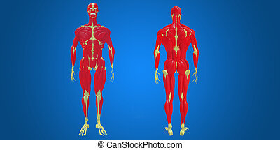 skeleton with human muscles - The human musculoskeletal...