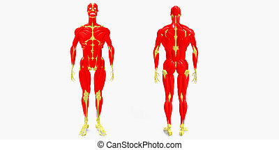 skeleton with human body muscles - The human musculoskeletal...