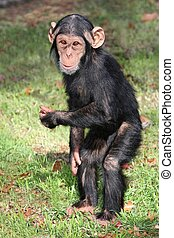 Funny Baby Chimp - Comical baby Chimpanzee standing on its...