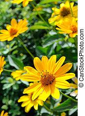 Yellow Rudbeckia Flowers (Coneflowers)