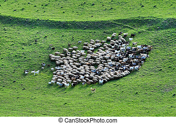 Herd of sheep gathering