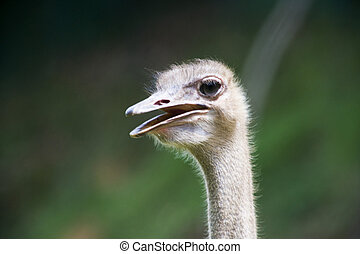 Emu - Head shot of an Emu.