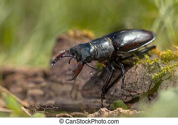 Lucanus cervus is the best-known species of stag beetle in...