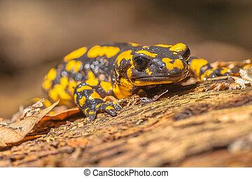 Salamandra Salamandra in Natural Habitat - Endangerd Fire...