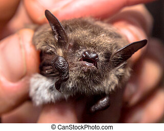 head of bat (Myotis Dasycneme) caught for research