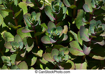 Sempervirens Succulent Plant - A succulent plant in the...