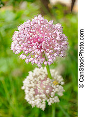 Garlic Flowers on Vegetable Patch