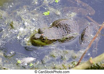 Frog in the pond - Macro shot of a green frog in the murky...