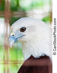 Philippine Hawk Eagle captured in captivity