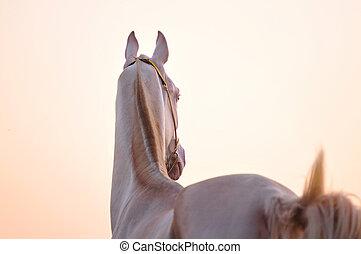akhal-teke horse in sunset