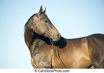 Outdoor profile head portrait of a thoroughbred dark brown horse with blue sky behind