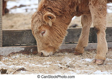 Bull Calf - Young Bull calf standing on the outside of a...