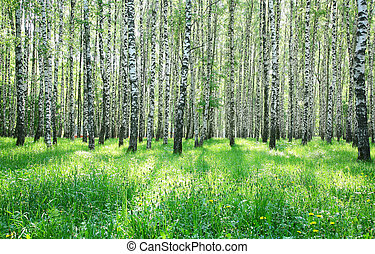 Sunny green grass and birch forest in the end of May
