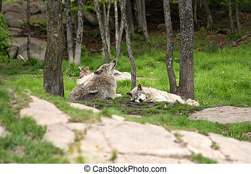 Two grey wolves relaxing in a forest environment