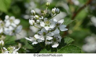 blossomed blackberries
