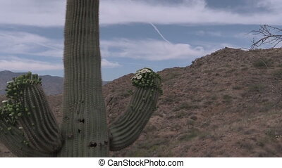 Blooming Saguaro Cactus - a saguaro cactus blooming in the...