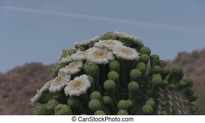 Flowering Saguaro Cactus - a flowering saguaro cactus in the...