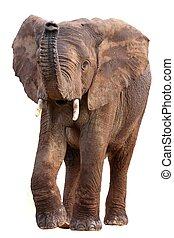 アフリカ, 隔離された, 象