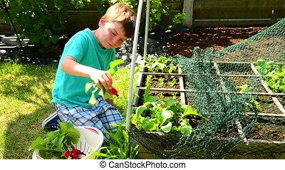harvest radish - boy harvesting radish