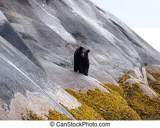 Slippery Slope - Brown bear near Juneau, Alaska walking...