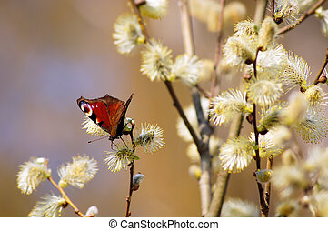 Spring scene - European peacock butterfly inachis io on a...