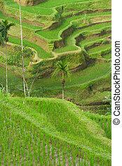 Green rice terraces on Bali island