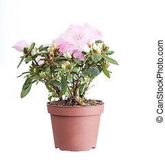 Cor-de-rosa, azaléia, flowerpot, aquilo, isolado, branca,...
