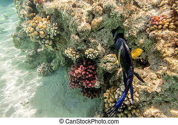 Colorful fish swim on a coral reef in the Red Sea in Egypt