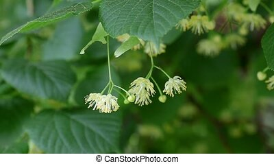 Flower of linden tree in spring - Closeup of blooming linden...