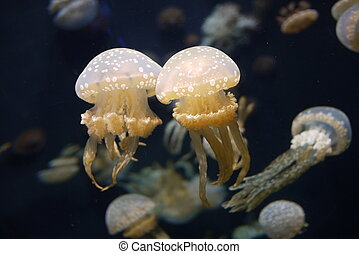 Group of jellyfish in sea aquarium - Group of jellyfish...