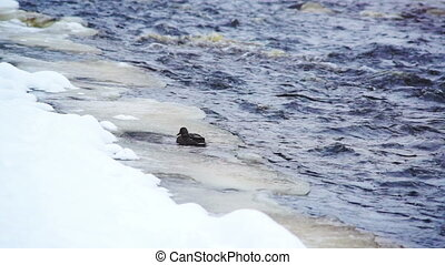 Duck at frozen river shore close-up - Black duck climbing up...