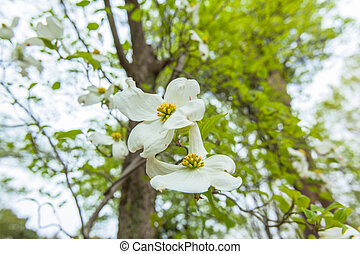 White flowering dogwood tree Cornus florida in bloom, close...