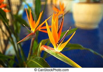 Bird-of-paradise, Crane flower, Strelitzia reginae