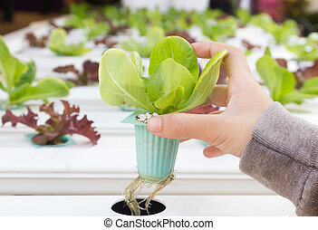 Organic hydroponic vegetable on hand in a greenhouse at...