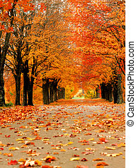Ablaze in Orange Color - Avenue of maples glow with Autumn...