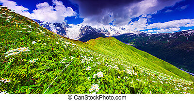 Blooming daisies on mountain meadow Upper Svaneti, Georgia,...