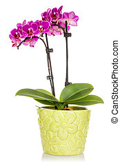 Orchid in the green pot isolated on white