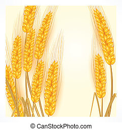 Ears of wheat on white - Ripe ear wheat on white background,...