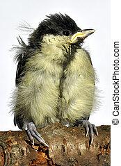 Blue Tit Fledgling - A single blue tit fledgling bird...