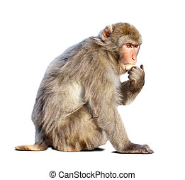 macaque. Isolated over white - macaque (Macaca sylvanus)....