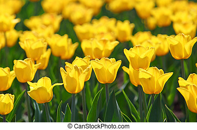 field of yellow tulips blooming