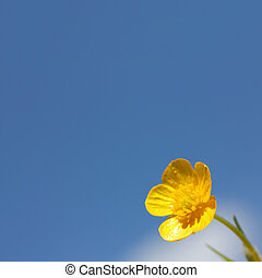 buttercup flower on sky background - yellow buttercup flower...