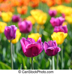 blooming different color tulips