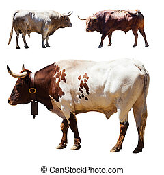 Set of 3 bulls  over white