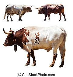 Set of 3 bulls over white - Set of 3 bulls. Isolated over...
