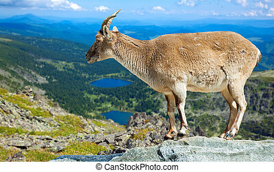 barbary sheep on rock in wildness