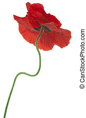 poppy - Studio Shot of Red Colored Poppy Flower Isolated on...