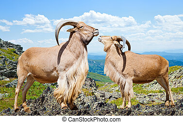 barbary sheeps on rock in sunny day - couple of barbary...